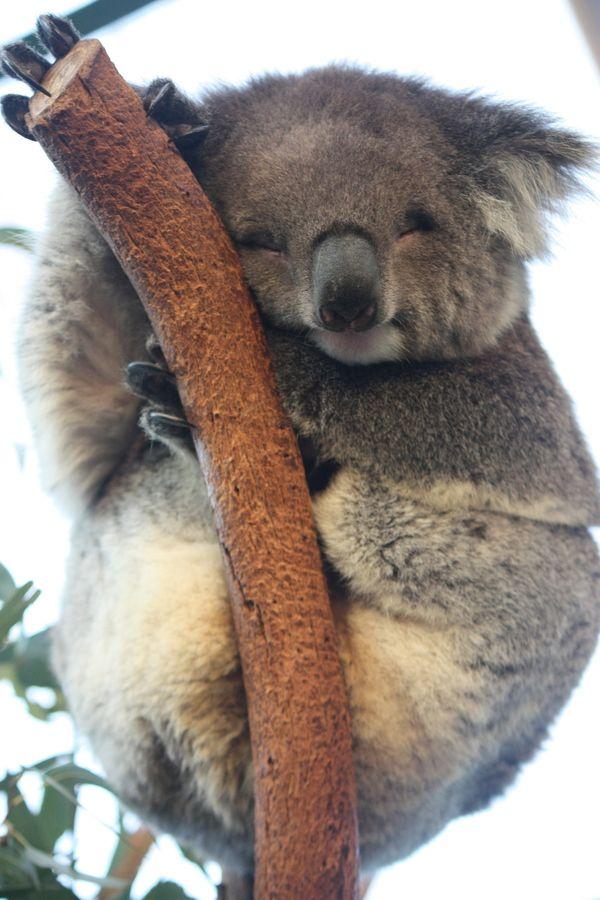 koala... please cuddle me by Saurav Shrestha, via 500px