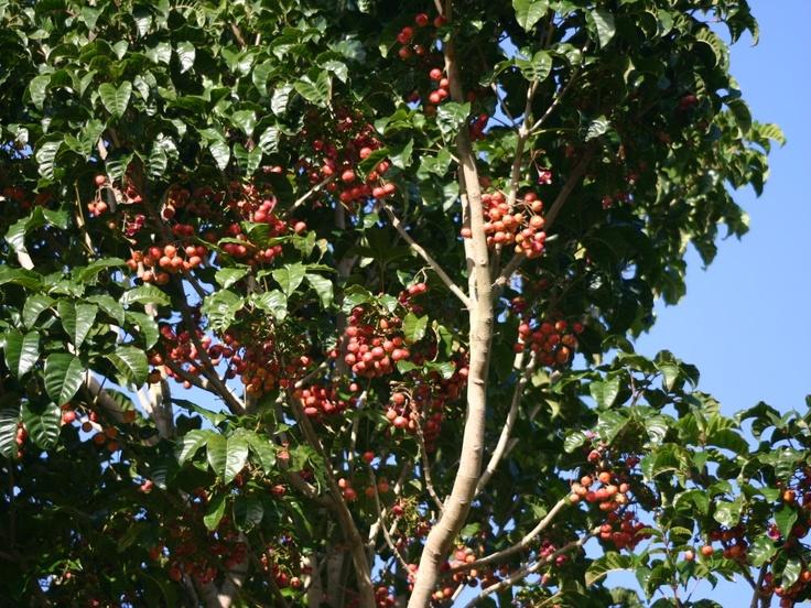 Puriri Tree and Miro berries #Kua reri nga kukupa.