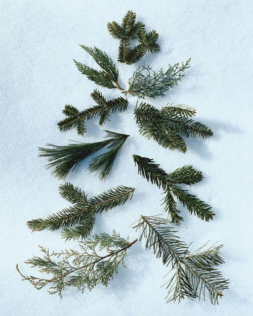 /\ /\ . Left to right, starting at the top: 1) Balsam Fir . 2) Leyland Cypress . 3) 'Carolina Sapphire' Cypress . 4) Fraser Fir . 5) Nordmann Fir . 6) White Pine . 7) Noble Fir . 8) Douglas Fir . 9) 'Blue Ice' Cypress . 10) Concolor Fir
