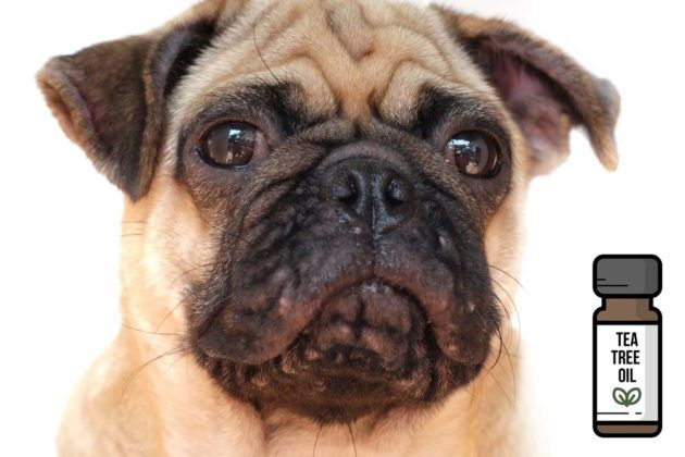 8 Uses Of Tea Tree Oil For Dogs Backed By Science Oils For Dogs