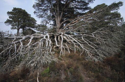 Racines d'un pin sylvestre_ Le philosophe Emanuele Coccia évoque les plantes, dont la vie a été ignorée des questions du monde depuis trois siècles.Emission Fance Culture
