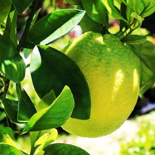 Oltre 25 fantastiche idee su alberi da frutto su pinterest for Vendita alberi da giardino online