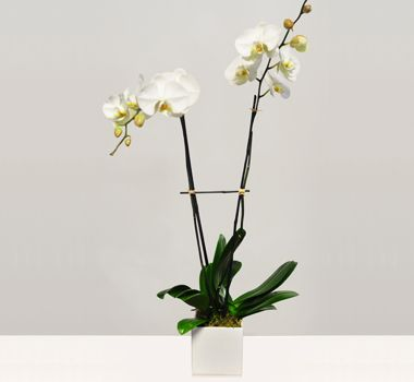 Orchid Arrangement by theorchidcollection shop.