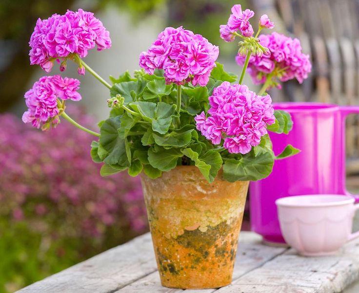 die besten 25 geranien vermehren ideen auf pinterest geranien pflanzen hibiskusgarten und. Black Bedroom Furniture Sets. Home Design Ideas