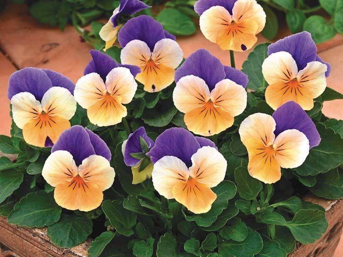 Penny Peach Jump Up Viola Flower Seeds Annual Flowers Pansies