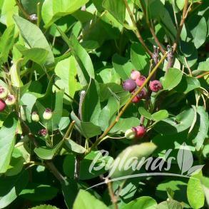 Thiessen Saskatoon Amelanchier alnifolia 'Thiessen'