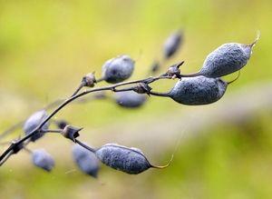 Interesting pods of Baptisia tinctoria.