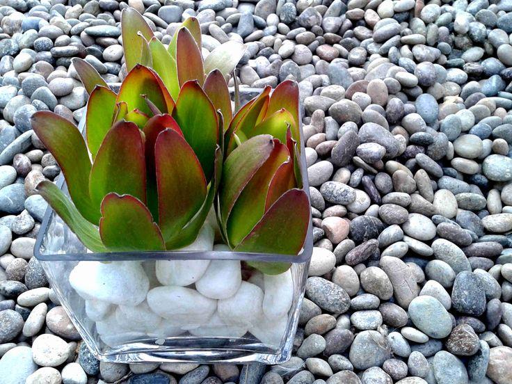 Leucadendron Golden sobre piedras mármol en florero cubo.