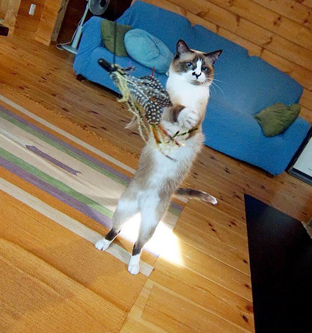 こういう顔になるといじけて飛ばなくなるので適度に捕まえさせてあげなければならない。 #catstagram#pet#cats#neko#ilovecat#にゃんこ#ネコラ部#モフモフ#保護猫#愛猫#みんねこ#love#lovely#cute#funny#meow#instacat#変顔#顔芸#kawaii#sippo#猫写真#トリセツ
