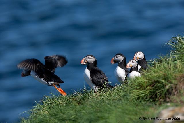 All sizes | Fligh school - Witless Bay Ecological Reserve (Newfoundland and Labrador), via Flickr.