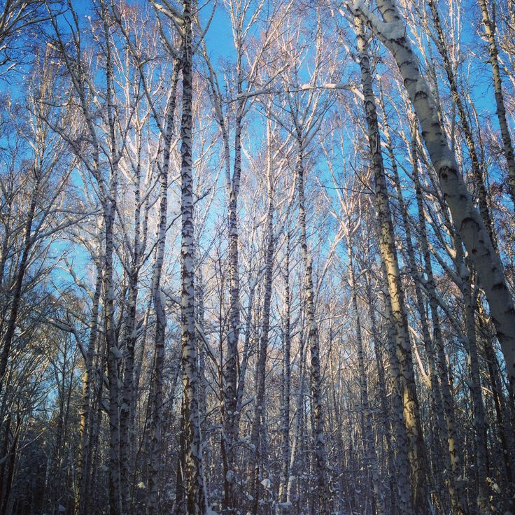 Winter forest and blue sky. January, 2013.