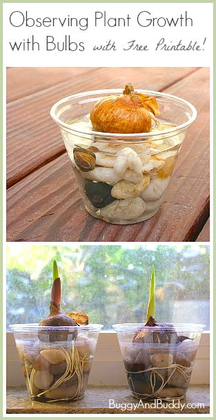 Science for Kids: Observing Plant Growth with Bulbs (with a FREE printable observation sheet!)~ Buggy and Buddy