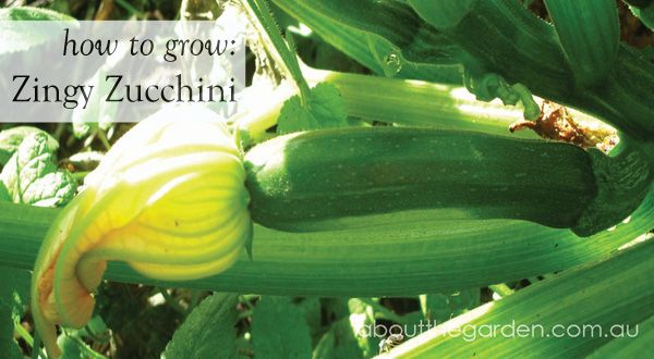 How to Grow- Zingy Zucchini