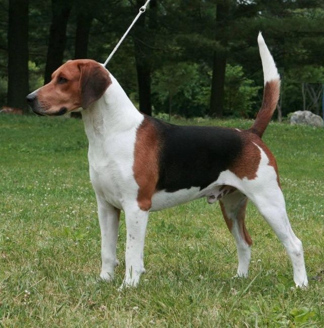 ENGLISH FOXHOUND | ENGLISH FOXHOUND | Pinterest