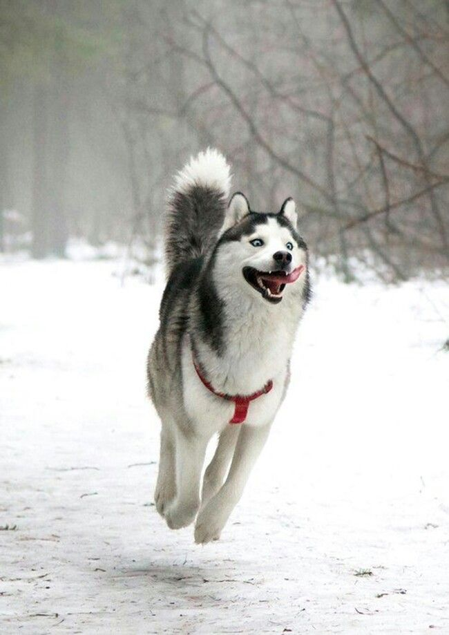 Huskies when winter arrives.