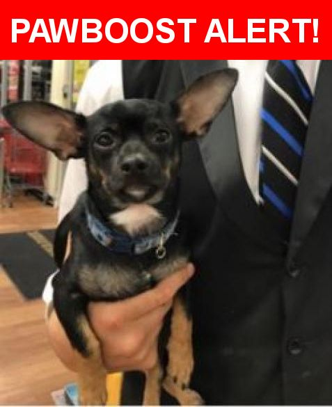 """Is this your lost pet? Found in Oakland Park, FL 33334. Please spread the word so we can find the owner!  Small Male Chihuahua, blue collar no tag no chip found at Pet Supermarket in Oakland Park. He is at my house and we hope to find his owner......We'll call him """"Paco"""" and take care of him.  Near NE 38th St & NE 15th Ave"""