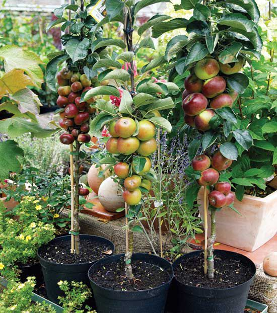 Dwarf Fruit Trees For Container Garden