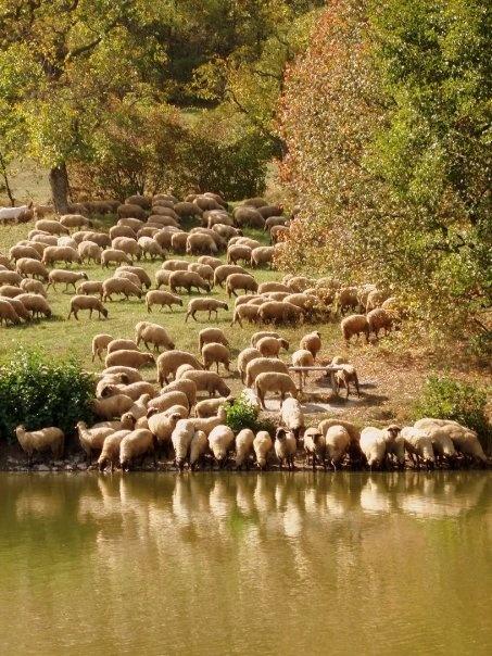 sheeps  , Banska Stiavnica, Slovakia