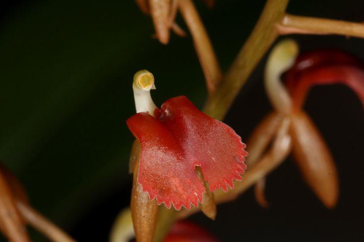 Flower-detail of Liparis latifolia - Widespread species found from China, Thailand, Borneo, Java, Peninsular Malaysia, Sumatra and New Guinea.