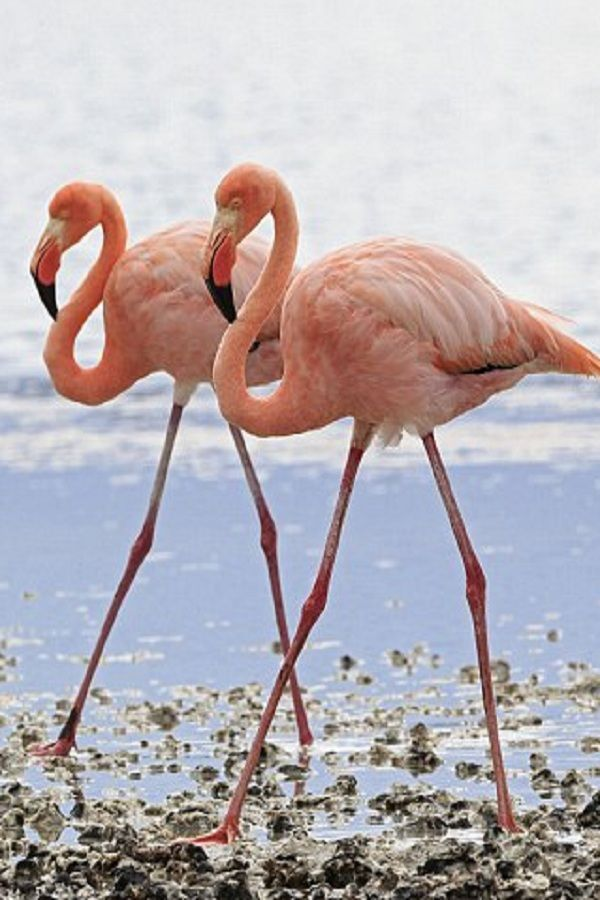 fun facts and trivia about flamingos the spruce - 600×900