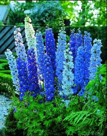 Delphiniums are perennials grown for their showy spikes of colorful summer flowers in gorgeous shades of blue, pink, white, and purple. They are popular in cottage-style gardens and cutting gardens.