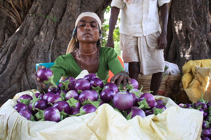 In an unprecedented decision, India's National Biodiversity Authority (NBA), a government agency, declared legal action against Monsanto (and their collaborators) for accessing and using local eggplant varieties to develop their Bt genetically engineered version1 without prior approval of the competent authorities, which is considered an act of biopiracy.
