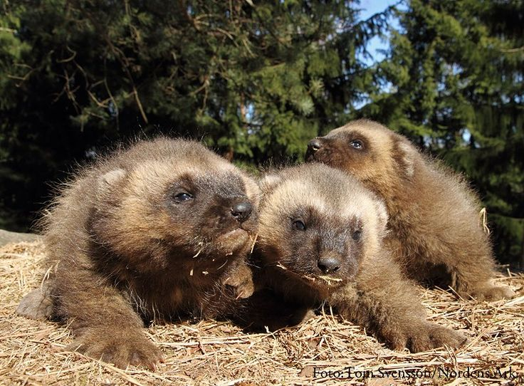 an overview of the species gulo gulo the wolverine