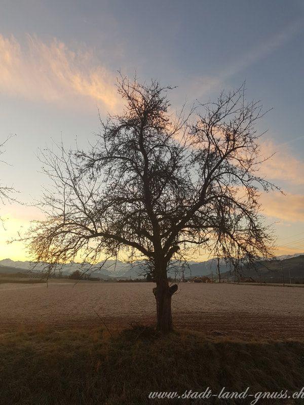 Hochstammbäume sind wichtig für die Biodiversität. Birnel. Zuckerersatz.