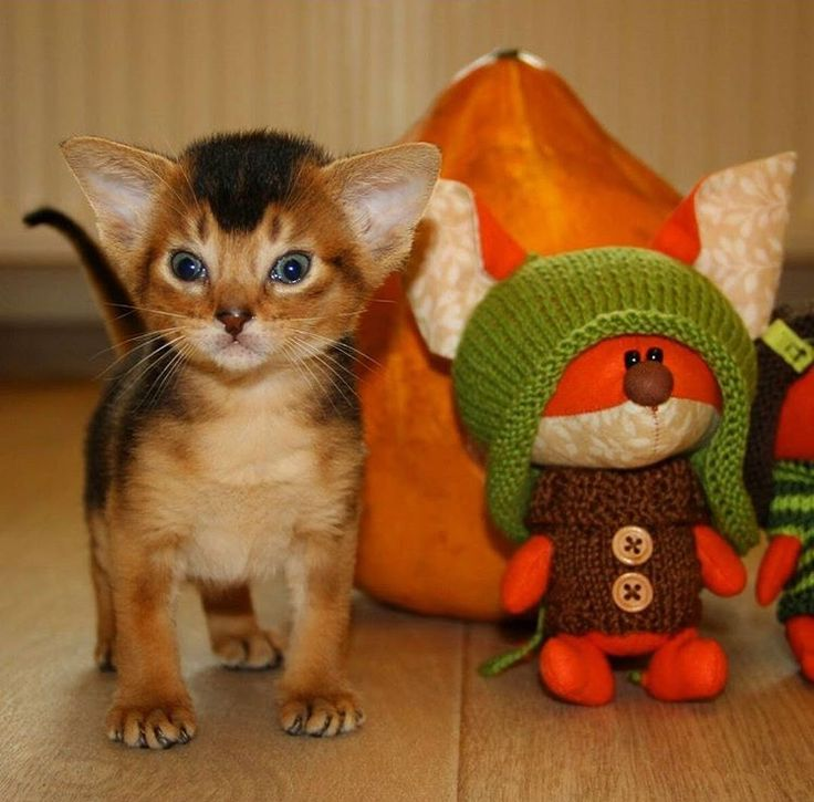 A cute little Abyssinian