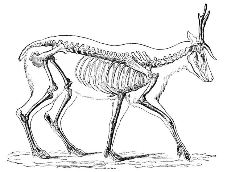 deer skeleton diagram lawn ornamentsdeerskeletondraw animalsanimal anatomywaiatataxidermyhalloween decorationspuppet - How To Draw Halloween Decorations