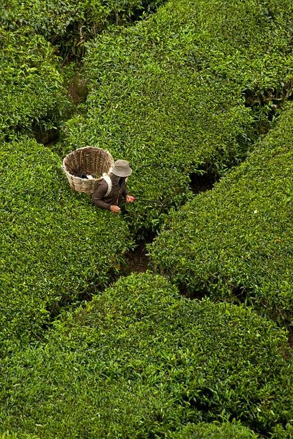 perspective crossroads  BOH tea plantation, Cameron Highlands, Malaysia | aligatorpics via flickr