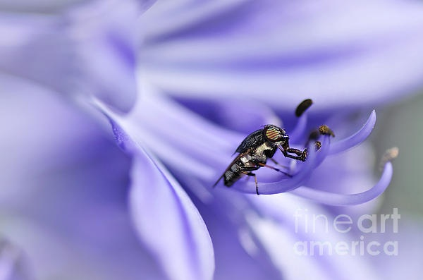 UNUSUAL #FLY ON #AGAPANTHA #STAMEN - Prints & Greeting Cards available at:  http://kaye-menner.artistwebsites.com/featured/unusual-fly-on-agapantha-stamen-kaye-menner.html  -