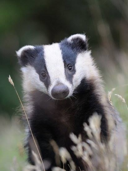 """Blueflash runs into camp. """"Badgers are attacking the camp!"""" He yowls. (Continue in the comments.)"""
