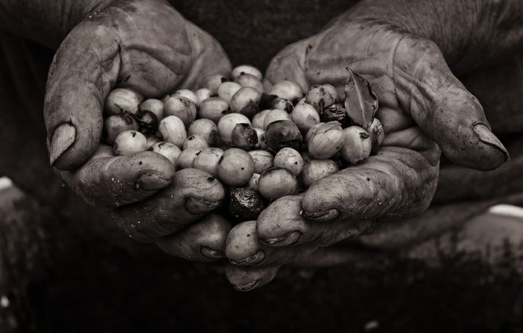 Manos de campesinos que cogen café hands of a campesino by michael thompson on 500px