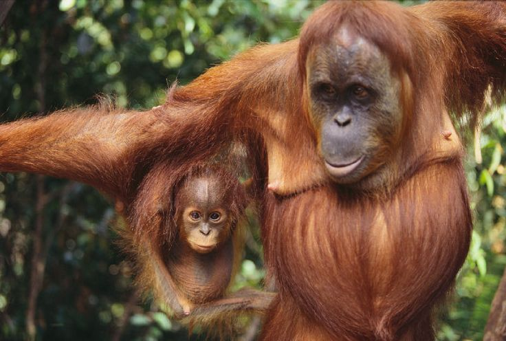 orangutan pictures | Sexual maturity in males occurs between 8 and 15 years of age.