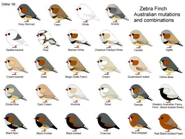 Zebra Finch Mutations | by jeffreymelvinread » Fri Dec 03, 2010 1:09 am