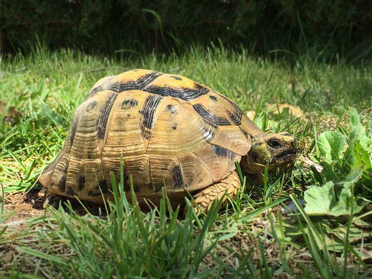 Schildkröten mit Frühlingsgefühlen
