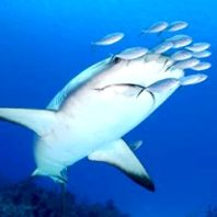 Reef Shark in Turks and Caicos