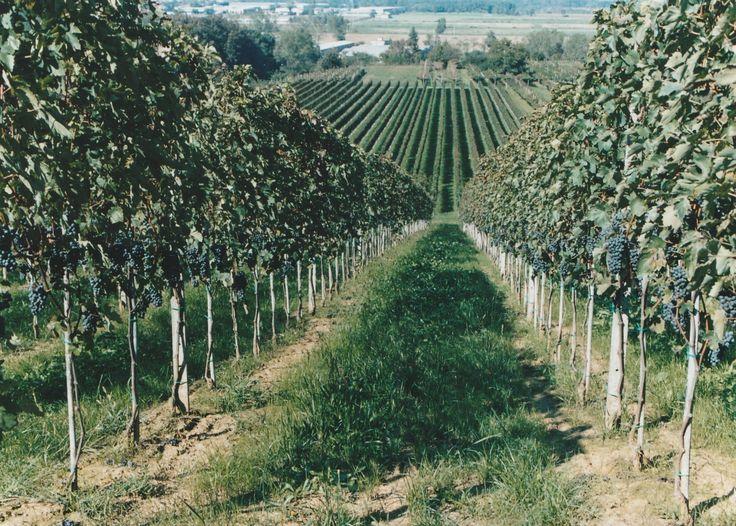 Azienda Agricola BERGONZI CRISTIAN - Vigneto
