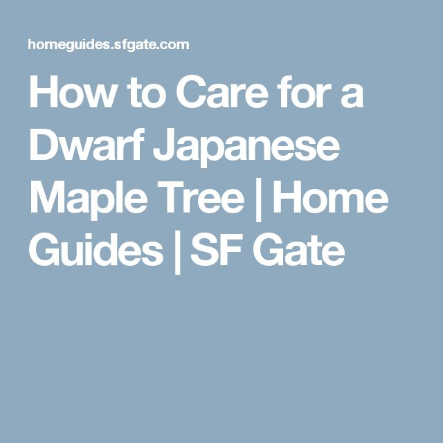 How to Care for a Dwarf Japanese Maple Tree   Home Guides   SF Gate