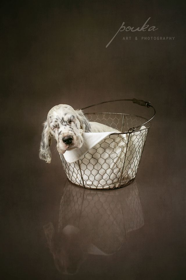 English Setter puppy sleeping in a basket. Pouka Art & Photography. www.pouka.com
