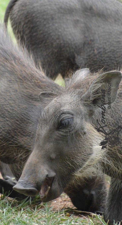 Photo of the Day : TOUCH this image: Warthog piglet @ Xombana, DinokengGameReserve by Xombana