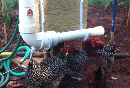 The Chicken Fountain Chicken Waterer Clean Water By