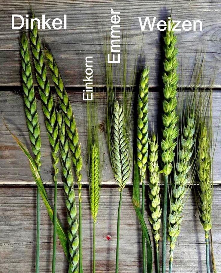 Dinkel Einkorn Emmer Weizen