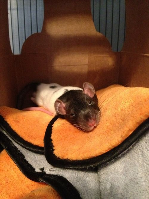 Awww.  Blog about rats to change perspectives on them.  :)