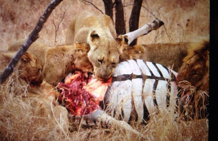 This morning the guests got up close and personal with the lions feasting on a large male zebra . Once in a lifetime sighting indeed . Taken with iPhone 5