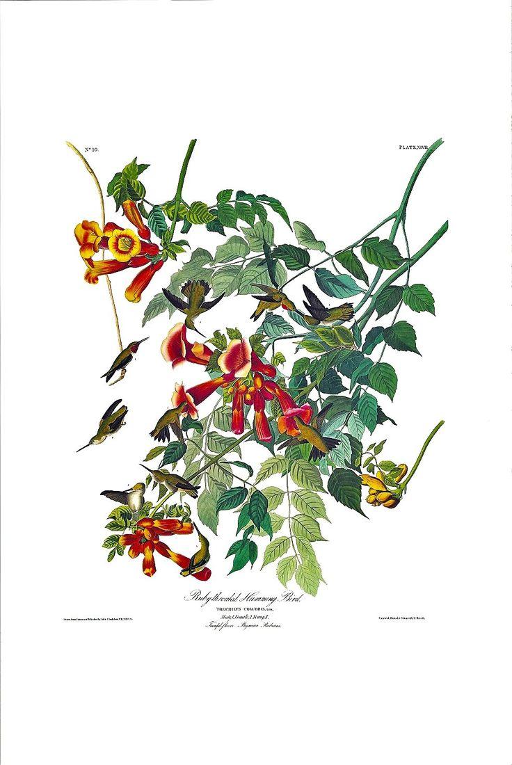 Princeton Audubon Ruby-throated Hummingbird