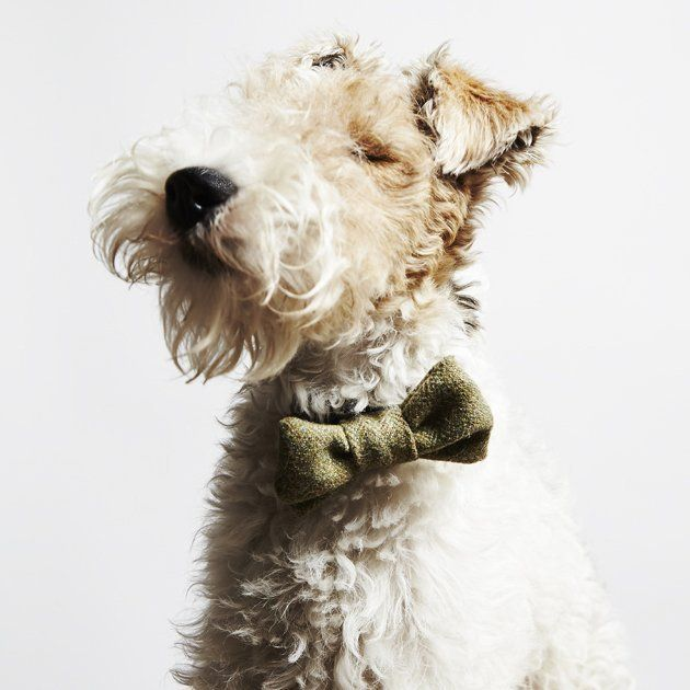 Beautiful Terrier Bow Adorable Dog - 4df6dc5a76f76b6fde2cd6b25ff8f1cf--bowties-wire-fox-terriers  Best Photo Reference_77574  .jpg