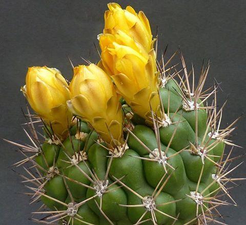 Weingartia kargliana hybride
