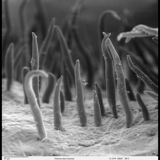 Not by the Hair of My Stemmy-stem-stem! Image of the Week - March 19, 2018  CIL:40388 - http://www.cellimagelibrary.org/images/40388  Scanning electron microscope image of Psidium guajava epidermal surface of the stem, showing trichomes (hair-like projections). This image is part of a group on botanical stems (CIL:40378-40395).  Louisa Howard  Public Domain